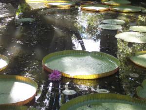 ile-maurice-promotion-jardin-pamplemousse-nenuphar