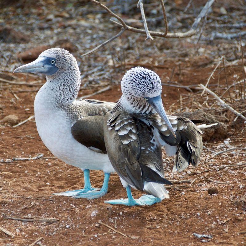 Fou à pieds bleus de San Cristobal en croisière aux Galapagos avec Via Dream
