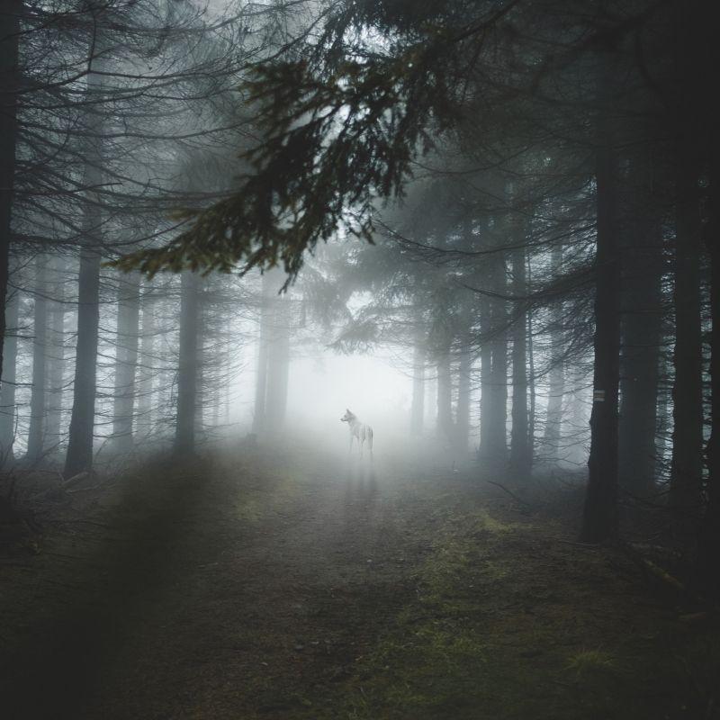 A Chichagof un loup dans la forêt de Tongass durant la croisière Alaska de Via Dream