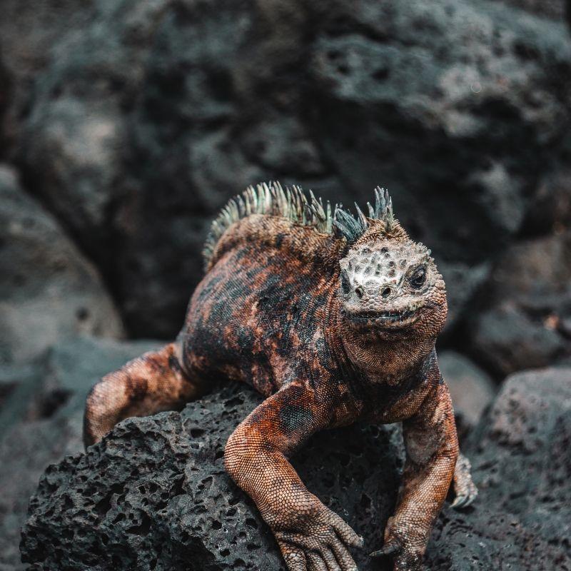 A Española un iguane en croisière aux Galapagos de Via Dream
